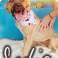 Adopt A Pet :: Sadie - Odessa, TX
