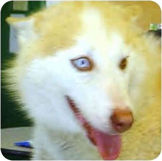 """Husky Mix Puppy for adoption in Various Locations, Indiana - """"Allie is Urgent"""""""