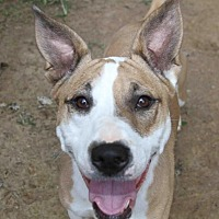 Pit Bull Terrier Dog for adoption in Rossville, Tennessee - Candy