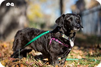 Corgi/Dachshund Mix Dog for adoption in Astoria, New York - Dill