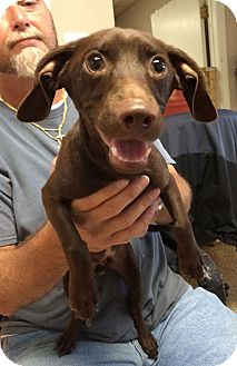 Dachshund Mix Dog for adoption in Metairie, Louisiana - BROWNIE
