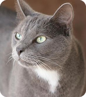 Domestic Shorthair Cat for adoption in North Fort Myers, Florida - Simon