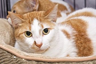 Domestic Shorthair Cat for adoption in Satellite Beach, Florida - Pumpkin