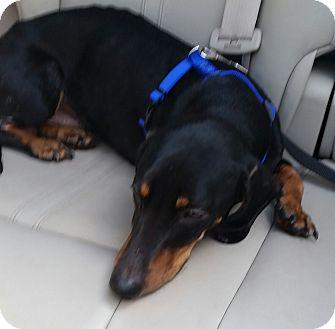 Dachshund Puppy for adoption in New Port Richey, Florida - bruno