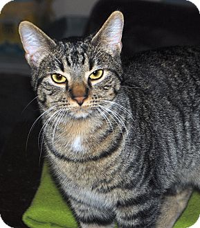 Domestic Shorthair Cat for adoption in Middleton, Wisconsin - Stripey (James)