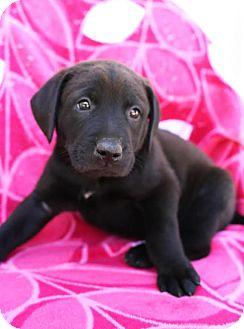 Labrador Retriever Mix Puppy for adoption in Beacon, New York - Horik