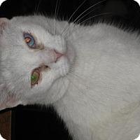 Adopt A Pet :: Ivory - Glendale, AZ