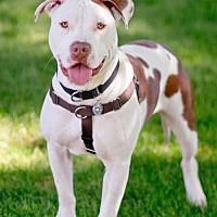 Adopt A Pet :: Cooper - Queen Creek, AZ