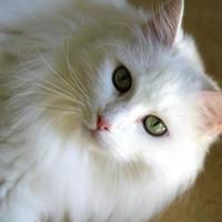 Adopt A Pet :: Sepheria - Bridgewater, NS