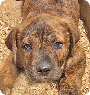 Mastiff/Boxer Mix Puppy for adoption in Poway, California - Muskateers