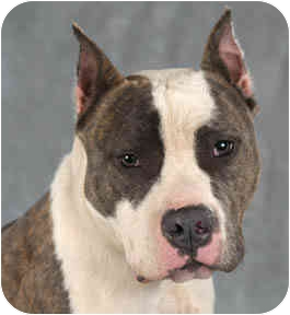 American Staffordshire Terrier Dog for adoption in Chicago, Illinois - Champ