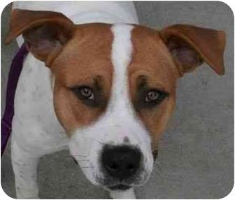 Pit Bull Terrier Mix Puppy for adoption in Phoenix, Oregon - Derrick