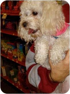 Maltese/Poodle (Miniature) Mix Dog for adoption in San Dimas, California - Leisel