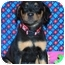 Photo 1 - Rottweiler Mix Puppy for adoption in Broomfield, Colorado - Tinkerbell