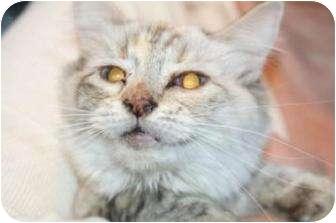 Siamese Cat for adoption in Tucson, Arizona - Smudgie