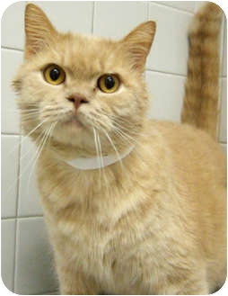 Domestic Mediumhair Cat for adoption in Hinsdale, Illinois - Vern
