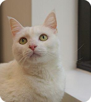 Domestic Shorthair Cat for adoption in Houston, Texas - Lila