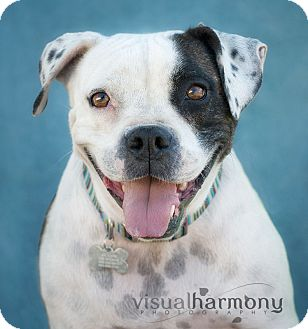 American Bulldog Dog for adoption in Phoenix, Arizona - Maggie Mae