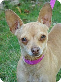 Chihuahua Mix Dog for adoption in Red Bluff, California - Emma