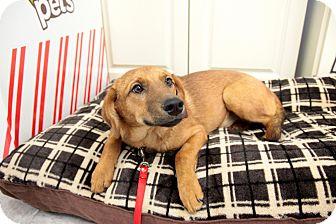 Beagle/Dachshund Mix Puppy for adoption in waterbury, Connecticut - Bones