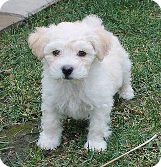 Maltese/Cockapoo Mix Puppy for adoption in La Habra Heights, California - Rusty
