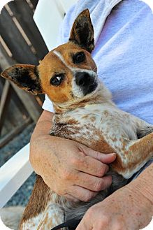 Rat Terrier/Chihuahua Mix Dog for adoption in San Marcos, California - Lola
