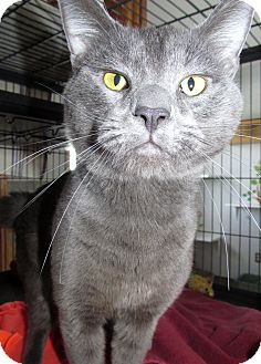 Domestic Shorthair Cat for adoption in China, Michigan - Sir