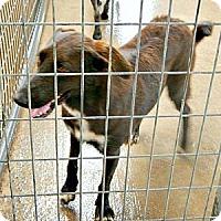 Adopt A Pet :: Cher - McKinney, TX