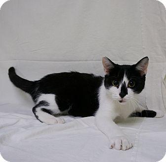 Domestic Shorthair Cat for adoption in Murphysboro, Illinois - Kanga