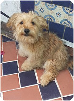 Havanese/Terrier (Unknown Type, Small) Mix Puppy for adoption in Corona, California - ROCKY (adoption pending)