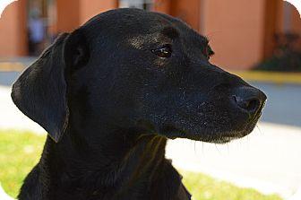 Labrador Retriever Mix Dog for adoption in Pompano Beach, Florida - Penelope