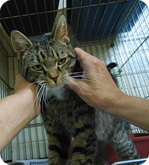Domestic Shorthair Cat for adoption in Henderson, North Carolina - Oliver