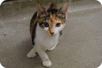 Domestic Shorthair Kitten for adoption in Bucyrus, Ohio - Cookie Josie