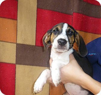 Beagle Mix Puppy for adoption in Oviedo, Florida - Jay