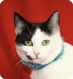Domestic Shorthair Cat for adoption in Jackson, Michigan - Sweety
