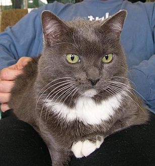 Domestic Mediumhair Cat for adoption in Houston, Texas - Abigail - Front Paw Declawed