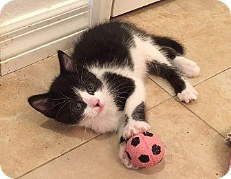 Domestic Shorthair Kitten for adoption in Tampa, Florida - Perolli
