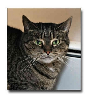 Domestic Shorthair Cat for adoption in Howell, Michigan - Gidget