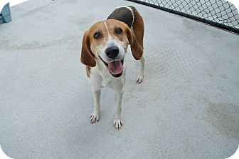 Foxhound/Hound (Unknown Type) Mix Dog for adoption in Prince George, Virginia - Elsa