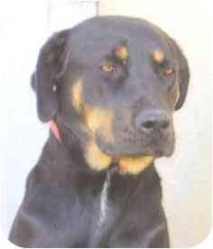 Labrador Retriever/Rottweiler Mix Dog for adoption in El Segundo, California - Carlota