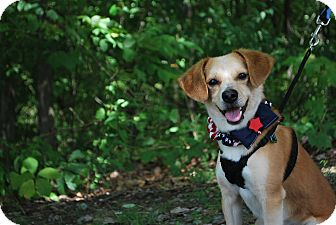 Beagle Mix Dog for adoption in New Castle, Pennsylvania - Scooter