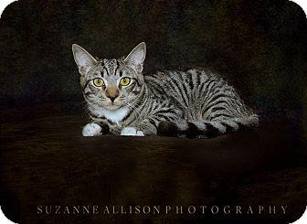 Domestic Shorthair Kitten for adoption in Van Nuys, California - Titan