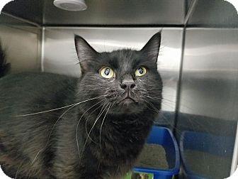 Domestic Mediumhair Cat for adoption in Elyria, Ohio - Shadow