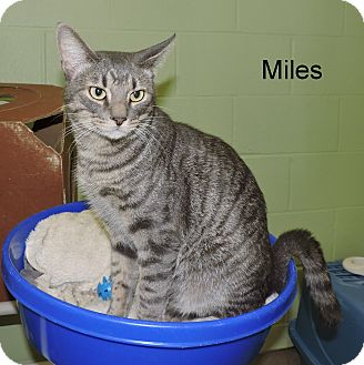Domestic Shorthair Cat for adoption in Slidell, Louisiana - Miles
