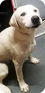 Labrador Retriever Mix Puppy for adoption in Goodlettsville, Tennessee - Cotton