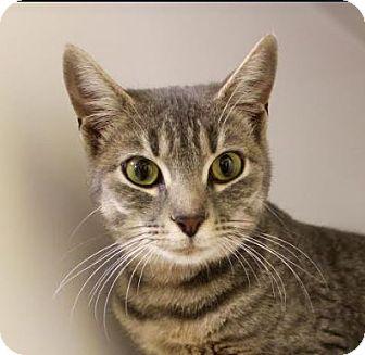 Domestic Shorthair Cat for adoption in Red Bluff, California - Tori