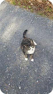 Domestic Shorthair Cat for adoption in Monterey, Virginia - Yesina $35 special