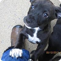 Adopt A Pet :: TIKA - Williston Park, NY