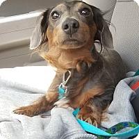 Adopt A Pet :: Ringo - Decatur, GA