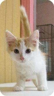 Domestic Longhair Kitten for adoption in Reeds Spring, Missouri - Dewey
